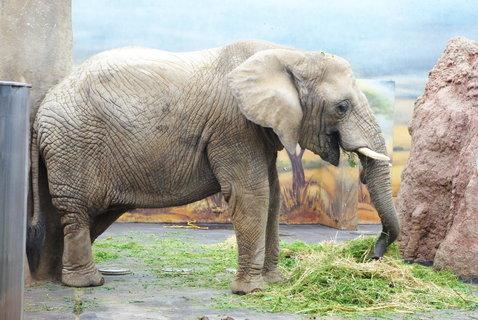 FOTKA - Slon africký ...
