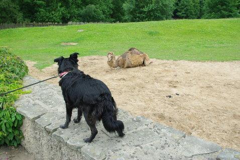 FOTKA - Velbloudi + zvědavý pes