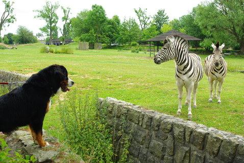 FOTKA - Zebry + zvědavý pes