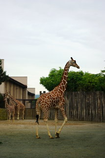 FOTKA - Žirafy .