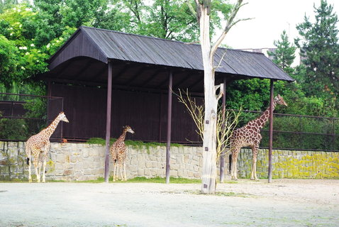 FOTKA - Žirafy ..