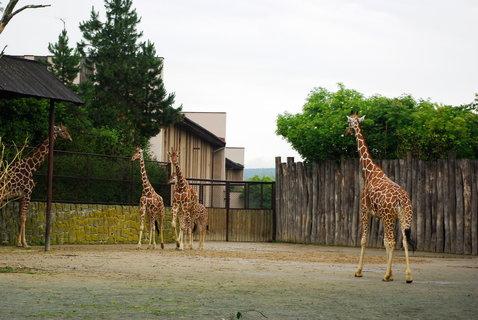 FOTKA - Žirafy ....