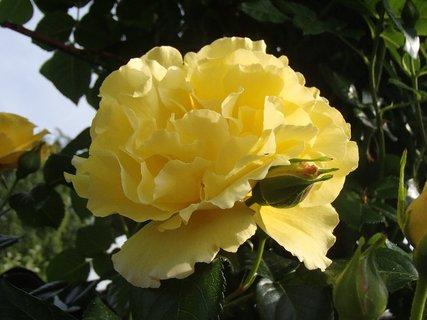 FOTKA - rozvitá žltá ruža