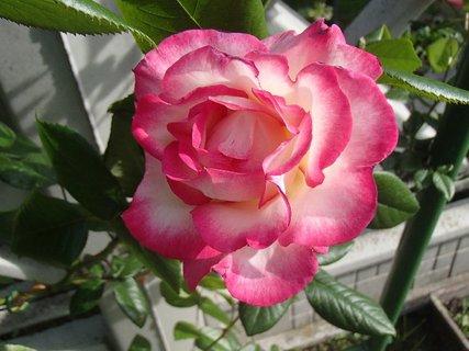 FOTKA - táto je melírovaná do ružova