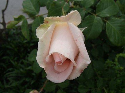 FOTKA - zohnutá hlavička ruže