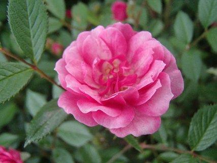 FOTKA - ružová drobnejšia