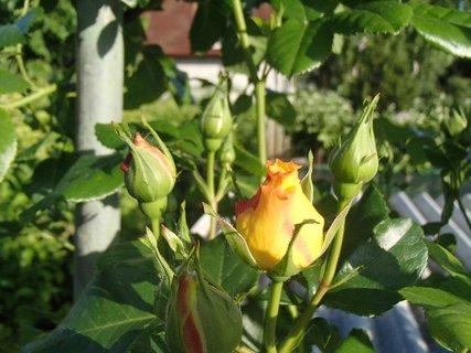 FOTKA - obkolesený puk ruže
