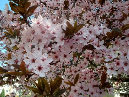 FOTKA - * Prunus