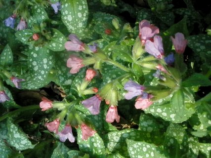 FOTKA - * Pulmonaria officinalis