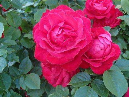 FOTKA - popínavá ruža
