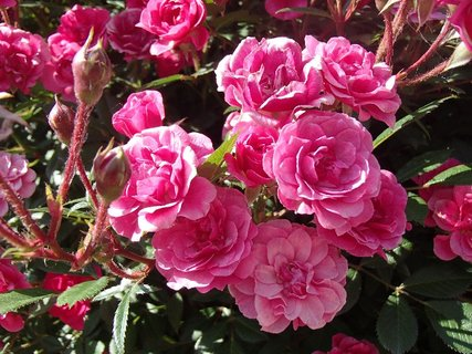 FOTKA - samé ružičky