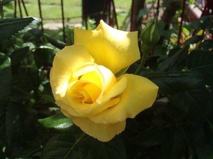 FOTKA - žltá pri plote