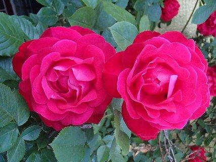 FOTKA - dve hlavičky popínavej ruže