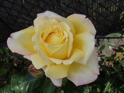 FOTKA - má ružovkasté okraje