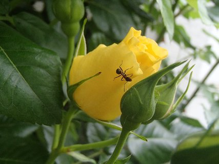 FOTKA - žltý puk ruže aj s mravcom