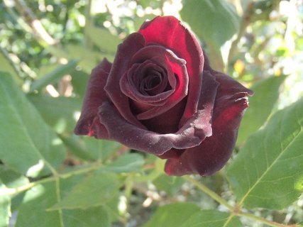 FOTKA - ružička sametovej farby