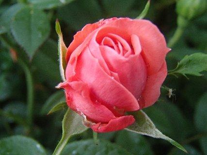 FOTKA - ružovotehlová ruža