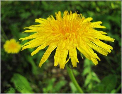 FOTKA - Mokrý květ pampelišky