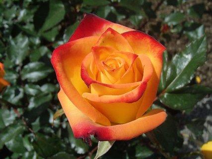 FOTKA - ruža pre dnešný deň