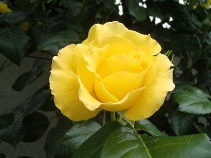 FOTKA - žltá ružička