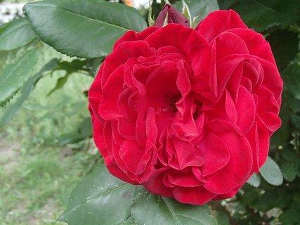 FOTKA - plná červená ruža