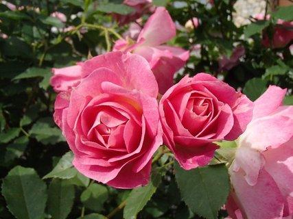 FOTKA - dve ružové ružičky