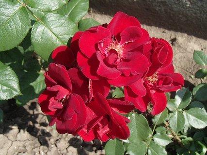 FOTKA - trs červených ruží