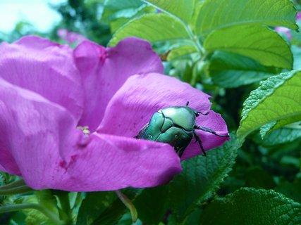 FOTKA - Brouk na květu