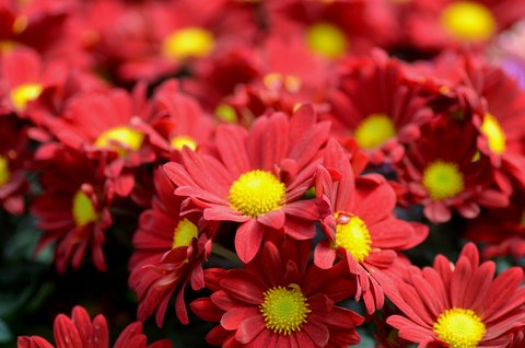 FOTKA - Červený kobereček