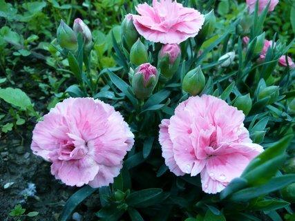 FOTKA - Růžové karafiátky