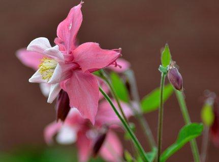 FOTKA - Růžový koniklec na skalce