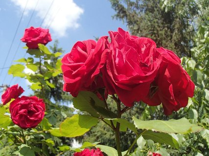FOTKA - červené ruže v oblakoch