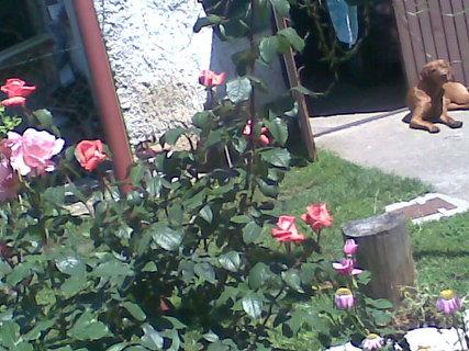 FOTKA - růže a Beník