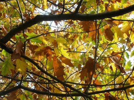 FOTKA - Zbarvené dubové listí