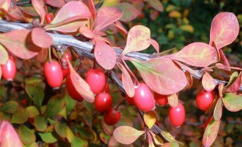 FOTKA - Berberis vulgaris