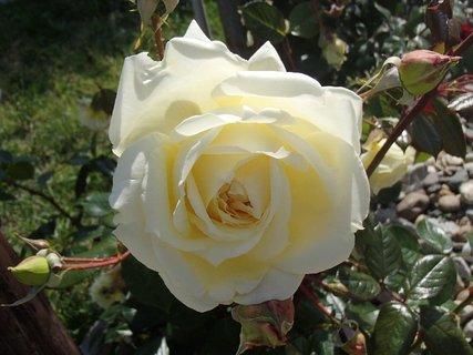 FOTKA - smotanová ruža