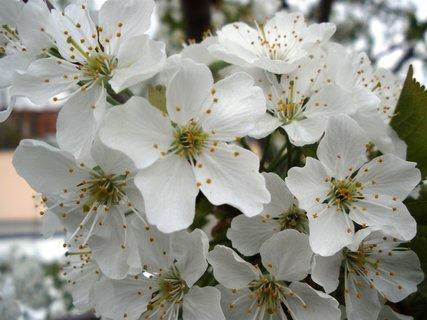 FOTKA - * Kvetoucí strom