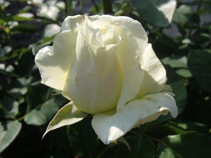 FOTKA - bielozelenkavá