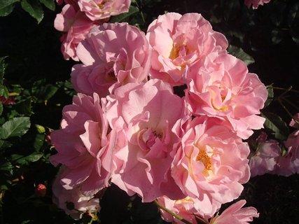 FOTKA - samá ružová