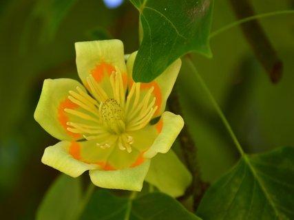 FOTKA - Nahlédnutí do liliovníku tulipánokvětého