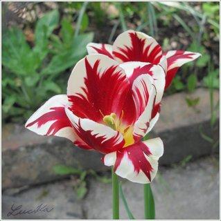 FOTKA - Bíločerveně žíhané květy tulipánu