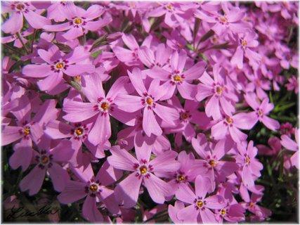 FOTKA - Světlefialové květy phloxu