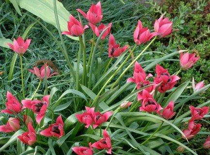 FOTKA - Růžové tulipánky