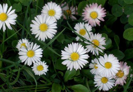 FOTKA - * Sedmikrásky v trávě
