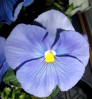 FOTKA - Modrá maceška