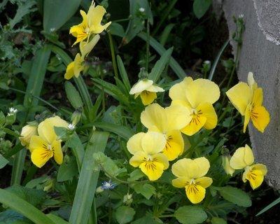 FOTKA - Žluté violky