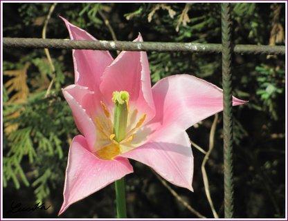 FOTKA - Růžový tulipán za železnou mříží
