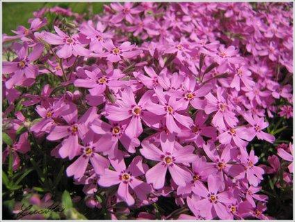 FOTKA - Fialové květy phloxu