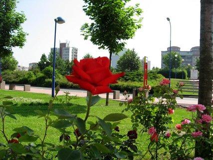 FOTKA - Růže na sídlišti 1