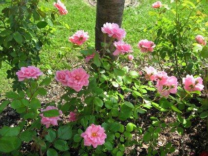 FOTKA - Růže na sídlišti 2